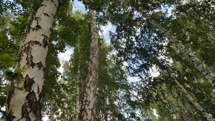 В природном заказнике в Зауралье «черные лесорубы» спилили около 60 деревьев