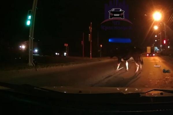 Животное выпало на дорогу, но, к счастью, корову никто не сбил