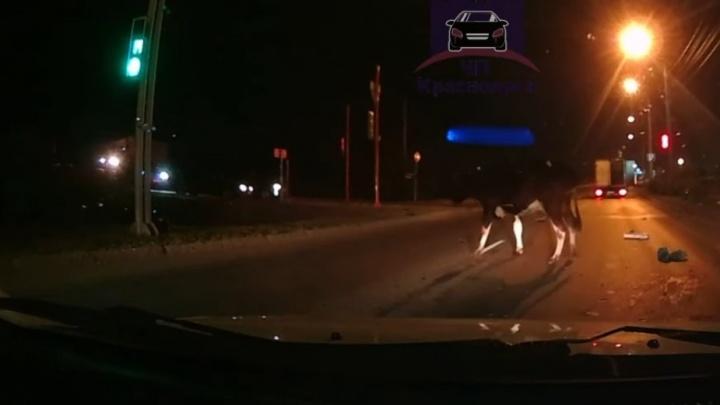 Украденная корова вывалилась из фургона посреди дороги