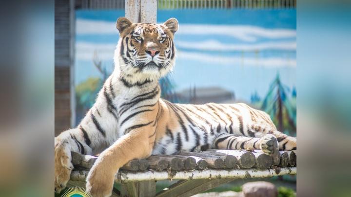 В Ярославль привезут тигрицу из Ростова-на-Дону, которая не подошла в пару местному самцу