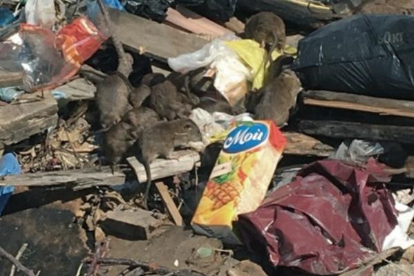 Жители жилого комплекса начали жаловаться на полчища крыс на помойках