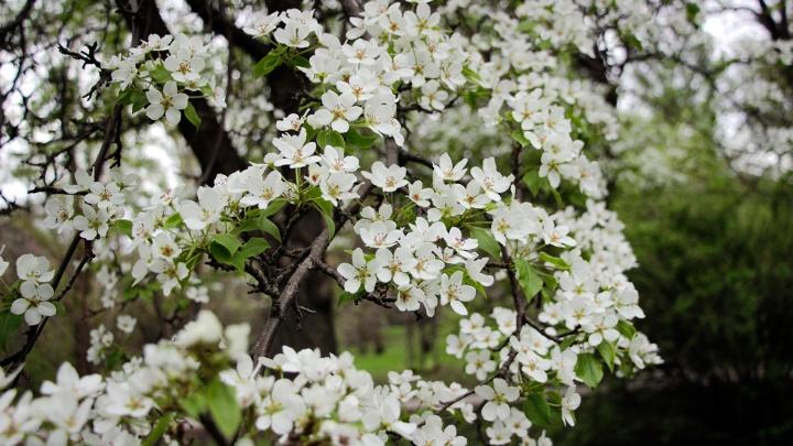 «Расцветали яблони и груши...»