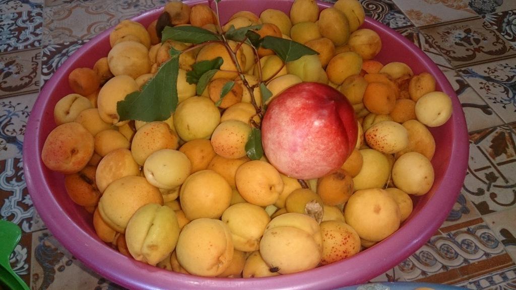Собирают абрикосы вместо ягод