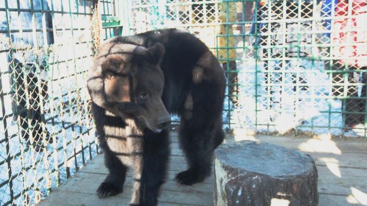 Взял домой ещё малышом: жителя города в Челябинской области растерзал медведь