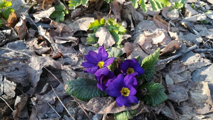 Фото: в Новосибирске расцвели альпийские цветы