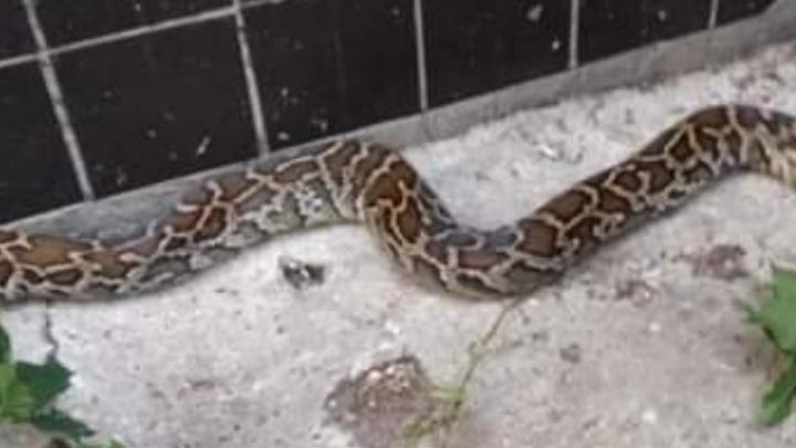 Серпентарий на дому: жителей Тольятти снова напугала змея внушительных размеров