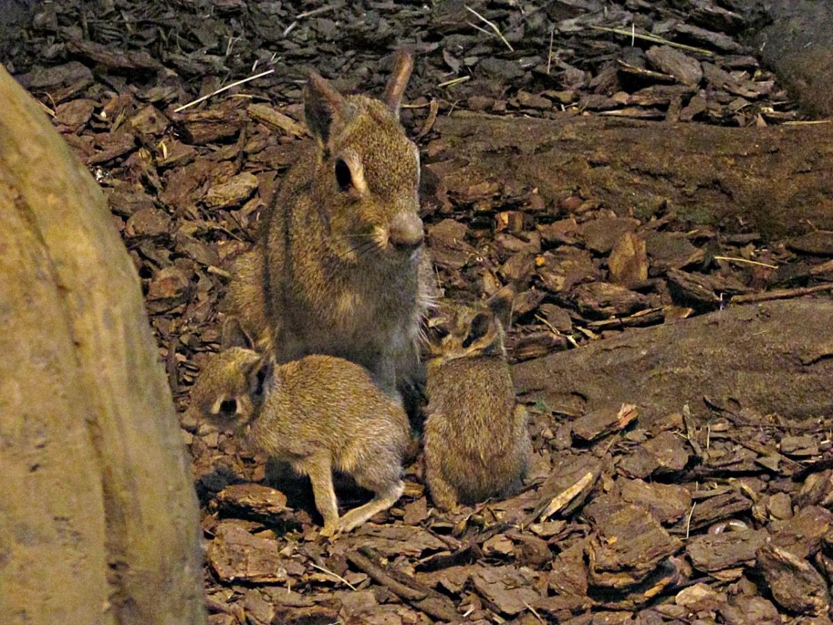 Южноамериканские грызуны из Новосибирского зоопарка стали родителями