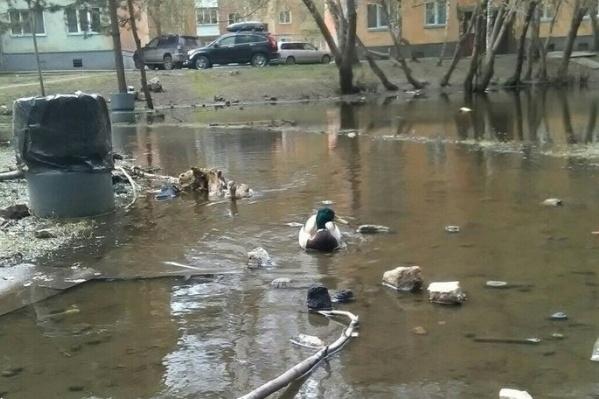 Очевидцы заметили пару крякв во дворах недалеко от Тимирязевского сквера