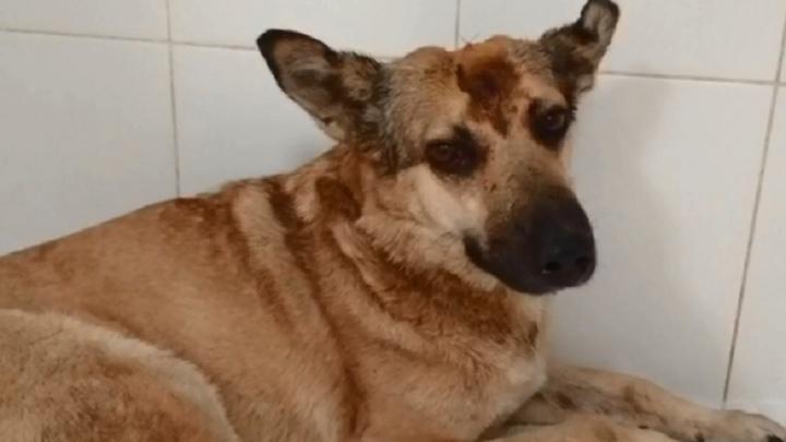 «Лежала, истекая кровью, и тряслась»: волгоградцы нашли избитую умирающую собаку