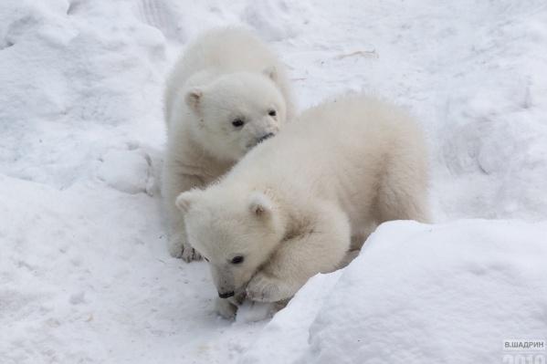 Недавно медвежатам исполнилось 4 месяца