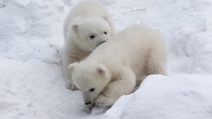 Снежок, Буян и Гретель: Новосибирский зоопарк назвал топ-10 популярных имён для белых медвежат