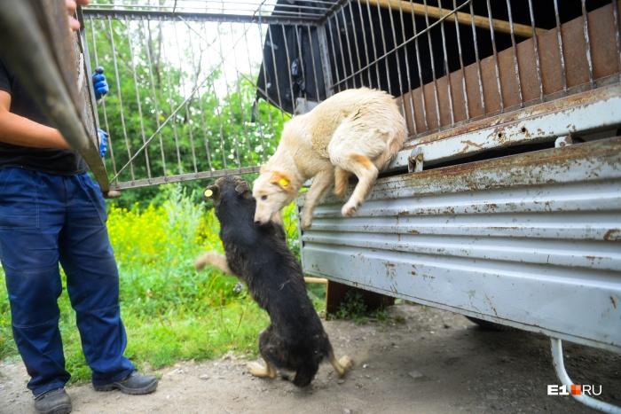 Перед тем как отпустить, собак стерилизовали и поставили им все нужные прививки