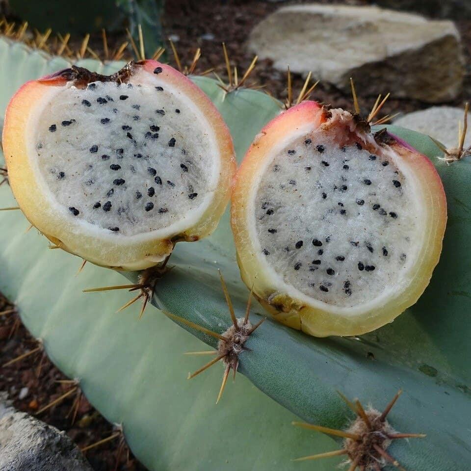 Плоды очень сочные и имеют нежный вкус