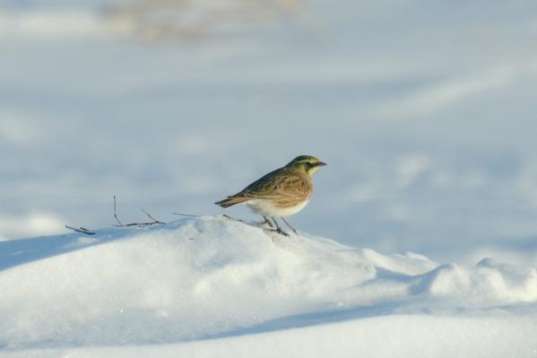Тундряные рогатые жаворонки задерживаются в Новосибирской области для зимовки
