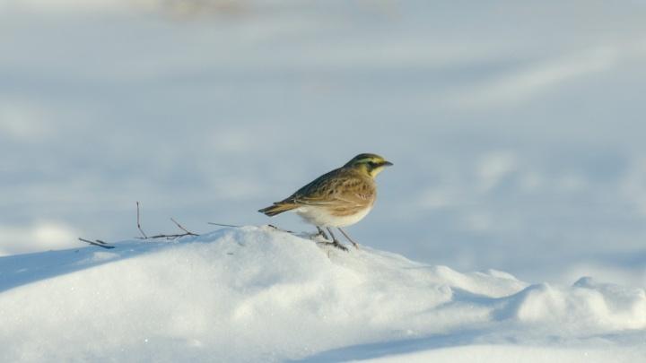 Под Новосибирском заметили перелётных птиц с рожками и жёлтыми перьями
