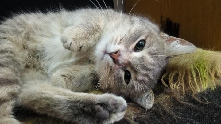 «Мы нашли его на лужайке перед аэропортом»: волгоградцы ищут дом полосатому котенку-«лётчику»