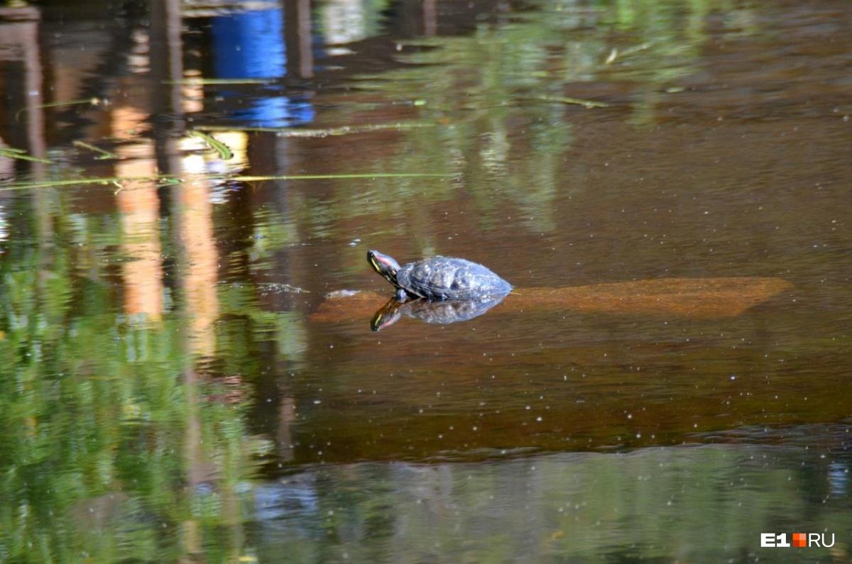 «Им холодно, они замёрзнут»: екатеринбуржцы нашли в озере Шарташ двух черепах