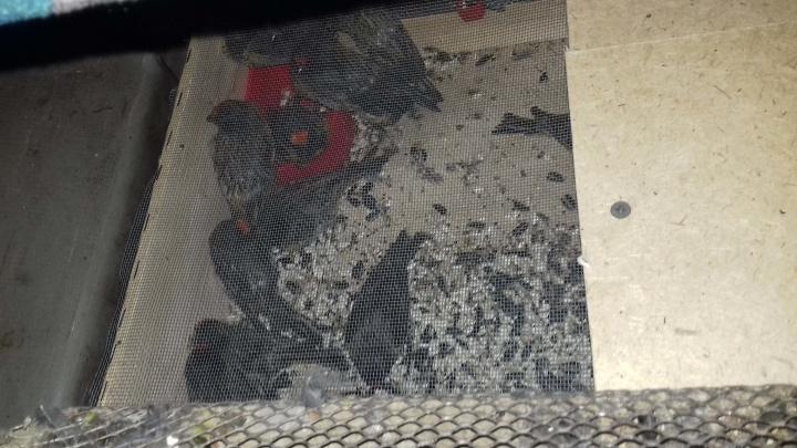 В Курганской области задержали 144 певчие птицы: их везли в Екатеринбург из Астаны