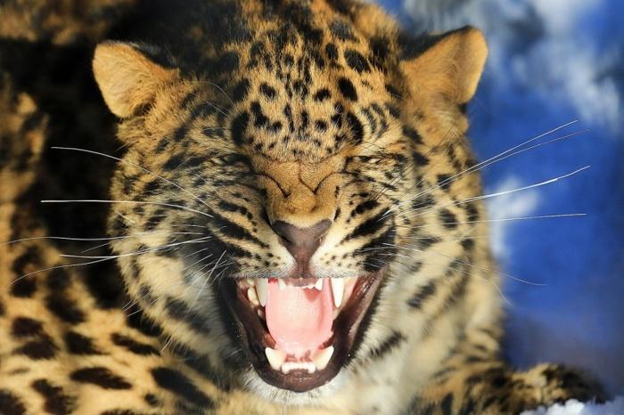 Новосибирские леопарды будут жить в Сеуле