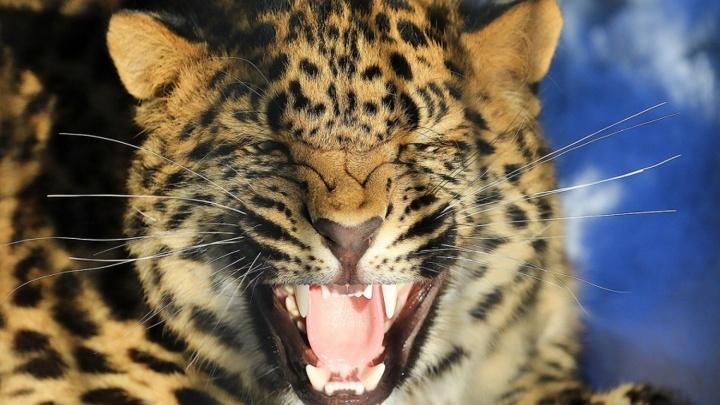 Из Новосибирского зоопарка увозят леопардов, маралов и тигрёнка