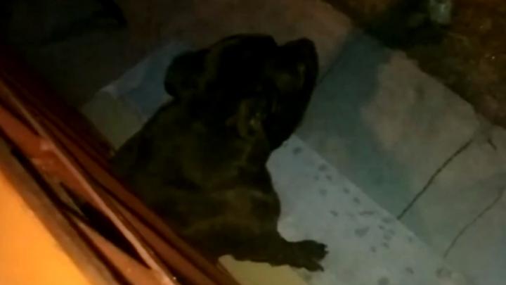Видео: застрявшего между прутьями балкона пса доставали специальными щипцами