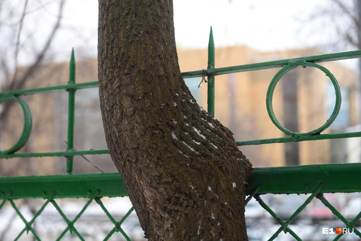Рядом с пятиэтажкой у филармонии предложили вырубить сто деревьев: они мешают старинному забору