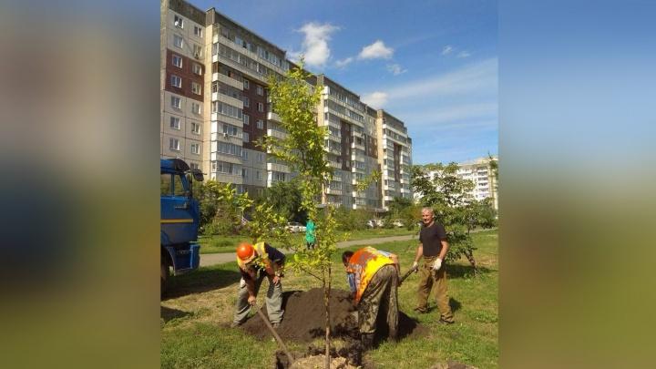На месте варварски срубленных лиственниц на 9 Мая начали высаживать деревья — молодые и хилые