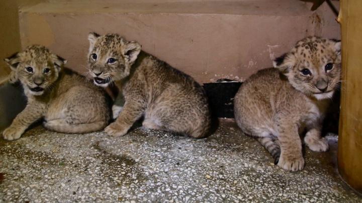 Три дамы с характером: львица из Крыма родила тройняшек в зоопарке Екатеринбурга