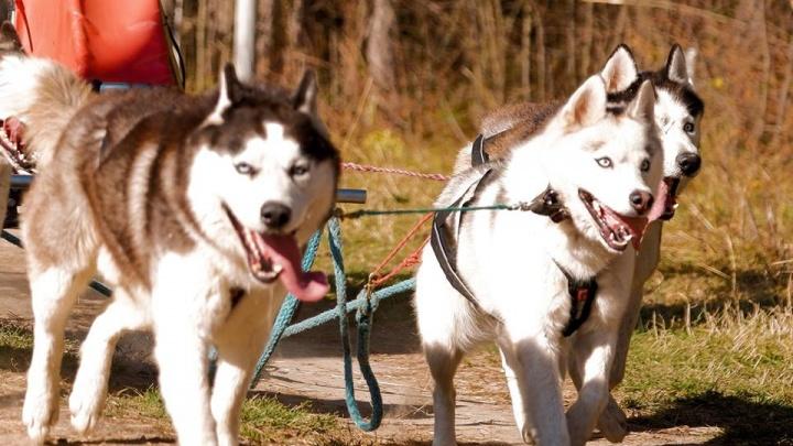 Командазоопарка выиграла гонки на собаках со своими хаски