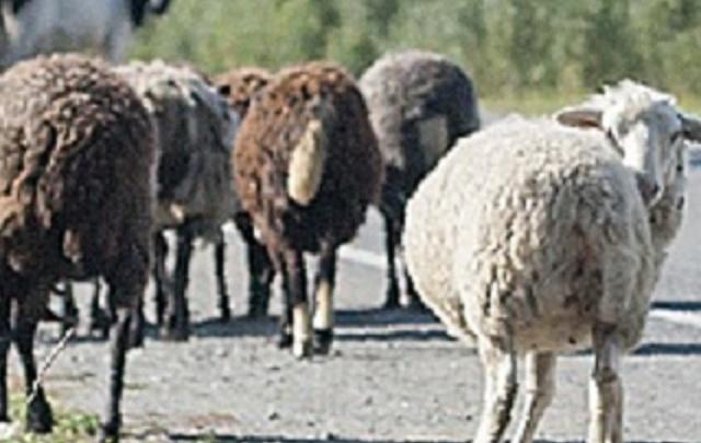 Житель Тюменской области через Зауралье пытался провезти 23 непроверенные овцы