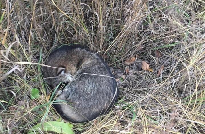 Енотовидный пёс оказался возле дороги в траве после того, как его сбила машина