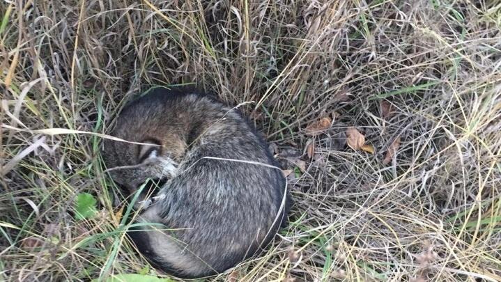 «Усато-полосатая» операция: в Челябинске зоозащитники спасли енота, сбитого машиной