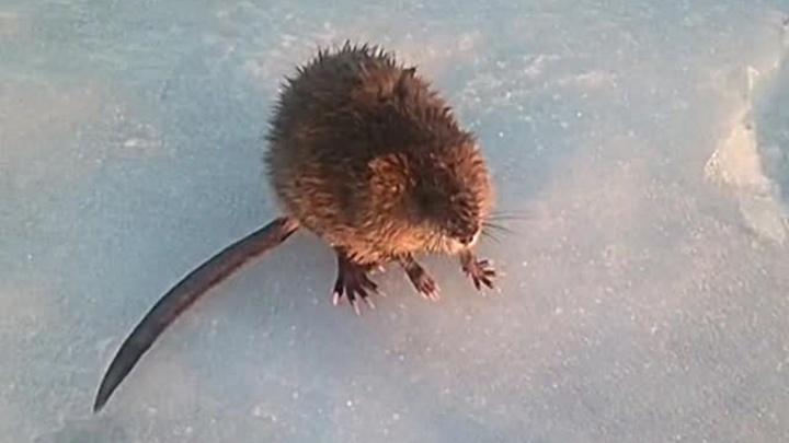«Нюра, ты офигела!»: рыбак наткнулся на злую ондатру, которая вылезла из лунки и напала на людей