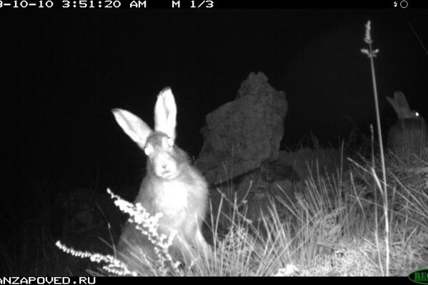 Зайцы — привычные обитатели заповедника