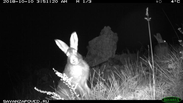 Смешные зайцы попали в фотоловушки Саяно-Шушенского заповедника