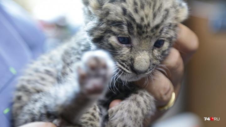 «Её бы отдали на ковры»: детёныша леопарда, выхоженного в Челябинске, выкупил меценат