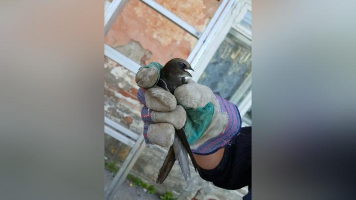 «Птица застряла под крышей»: в Кунгуре спасатели освободили ласточку