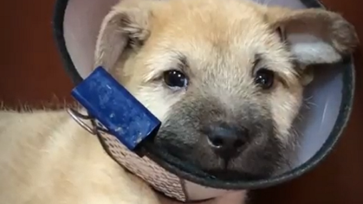В Волгограде щенку с «дельфиньими» лапами сделали операцию