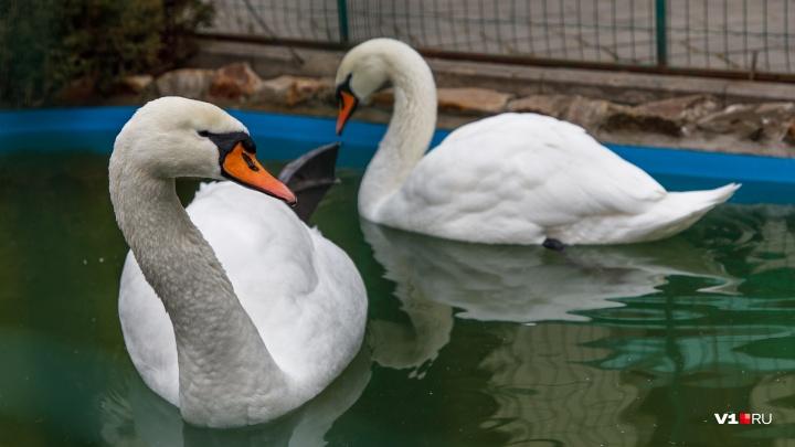 «Они не испугались и остались тут»: на реке Волгоградской области зимует стая морозостойких лебедей