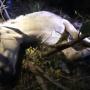 В Уфе беременная лошадь попала в западню: доставали животное манипулятором