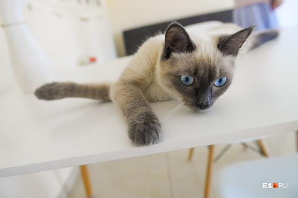 Универсиада — молодая кошка тайского окраса. Ее подобрали на улице, когда она была котенком