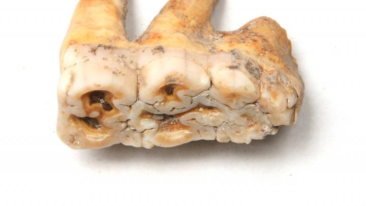 Фото: ученые Академгородка просканировали зубы древней свиньи
