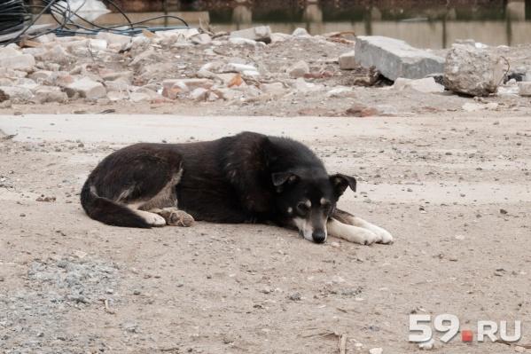 Животное напало на территории пилорамы в Лысьве. Вопрос, кто виноват — администрация города или хозяин пилорамы?