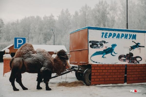 Верблюд Кеша сегодня целый день греется в теплом помещении, на улицу его не выводят