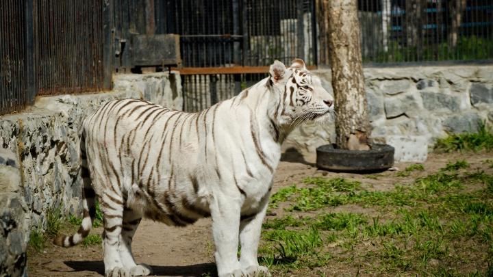 Хищников в Новосибирском зоопарке перевели на новый режим из-за жары