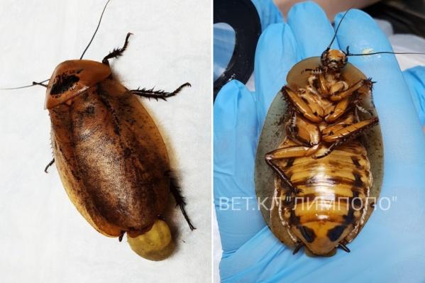 После родов кокон у таракана не вправился самостоятельно, и его пришлось удались врачам