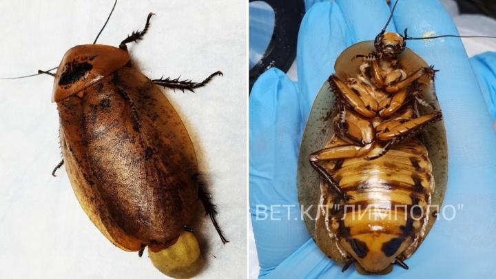 «Подковали блоху»: ветеринары провели ювелирную операцию самке гигантского таракана