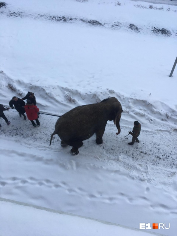 Читательница Е1.RU уверяет, что один из слонов попытался сбежать от дрессировщика, но его поймали