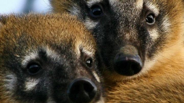 Брошенной ручным зоопарком семейной паре носух в Волгограде нашли новый дом