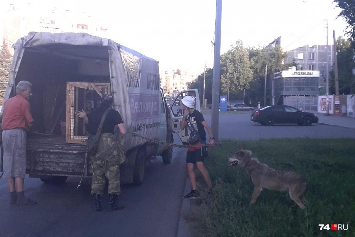 Просто волк выпал из«Газели» в Челябинске, ничего необычного